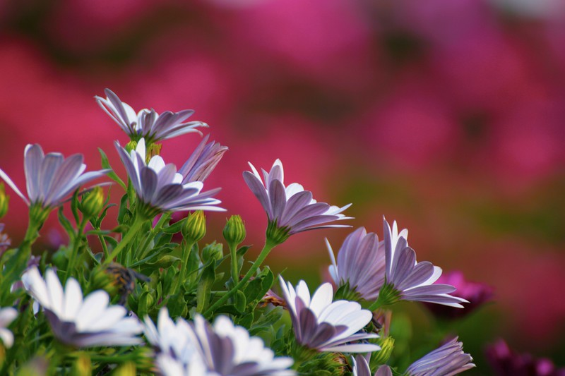 Purple and White on Magenta