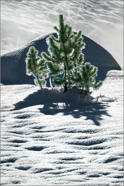 JM8_4616 Back lit pine LPW.jpg