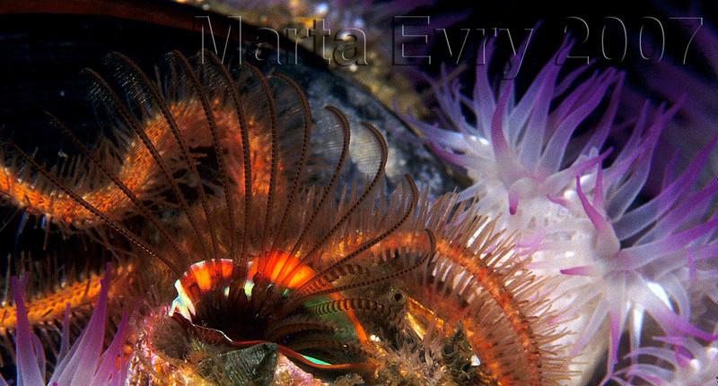marta evry Oil rig Ellen Brittle star, barnacle, anemnoe Nikon F4/Nexus housing, 105mm lens, Kodak E100VS f22 - 1/60 / two   Ikelite SB50 strobes