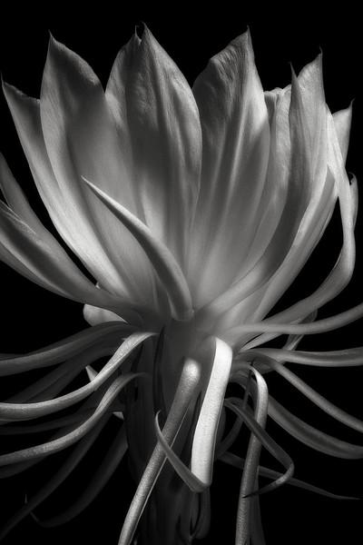 night-blooming orchid cactus (epiphyllum oxypetalum)
