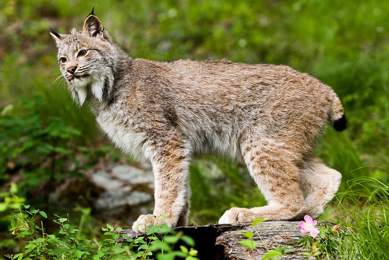 Lynx_20090621_510b.jpg