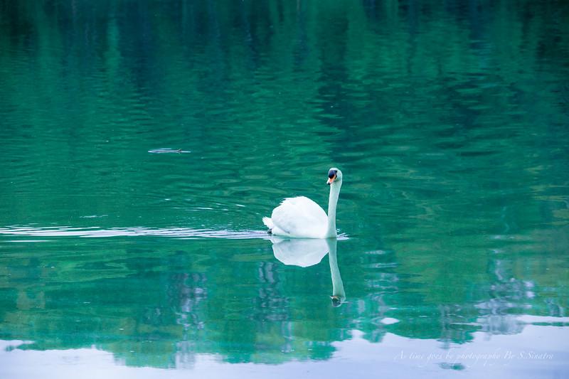 mute swan signed-41.JPG