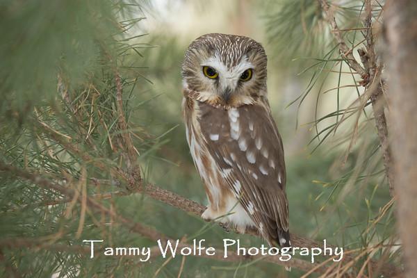 Owl, Saw-Whet