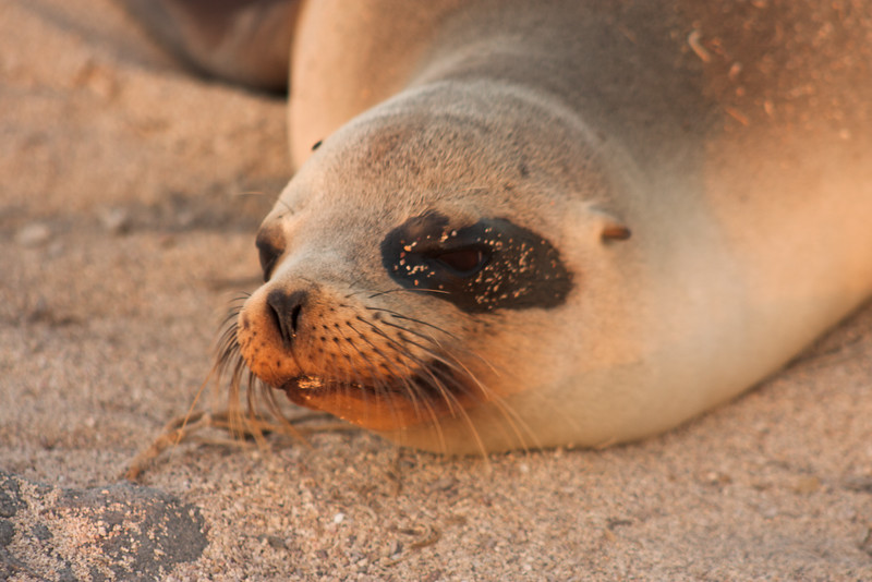 Journey into Baltra Island in the Galapagos Archipelago 47 Tired Sea Lion