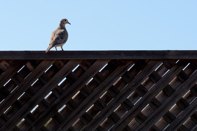 0592 Dove.jpg