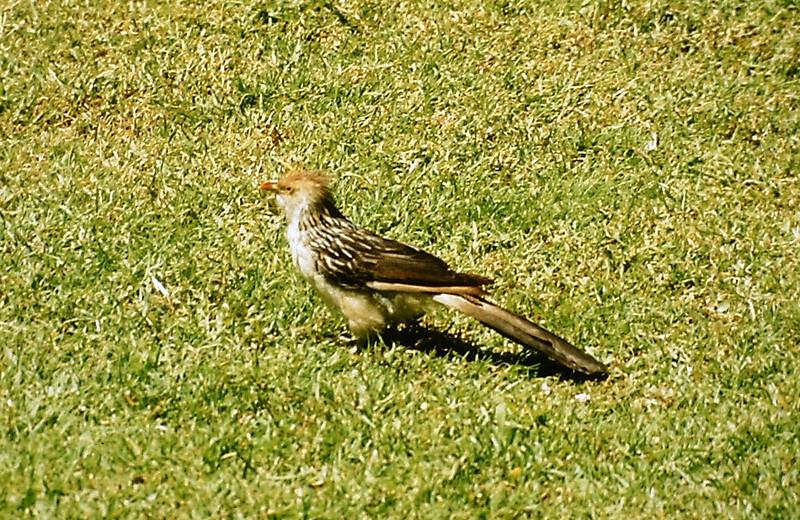 003Guira Cuckoo011
