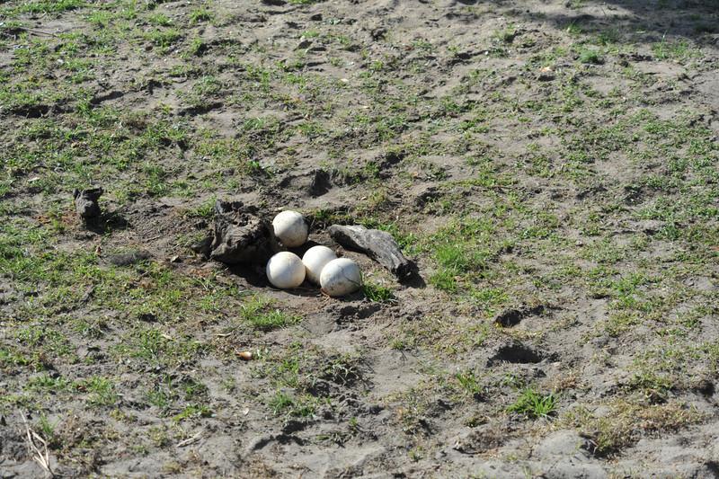 Ostrich Eggs along Kilimanjaro Safaris