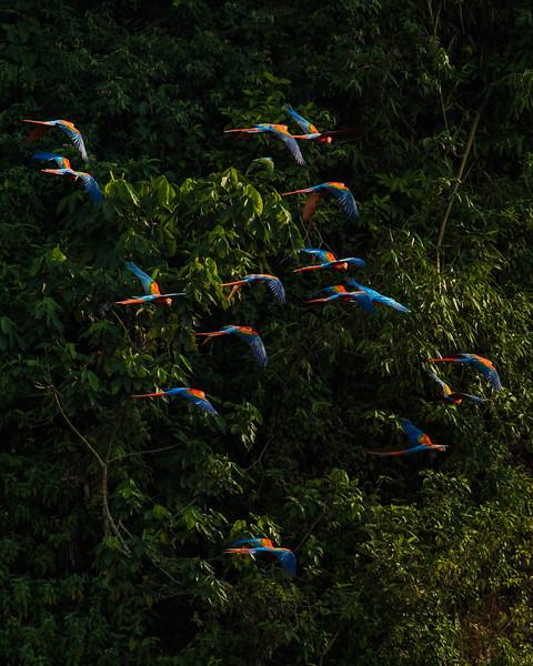 Macaws Tambopata Claylick Flying Vert.jpg
