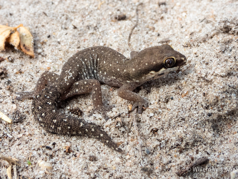 20190914 Ocellated Thick-toed Gecko (Pachydactylus geitje) from Melkbosstrand, Western Cape