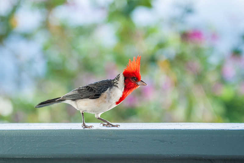 These little cardinals were flying all over our balcony every morning, begging for some food!