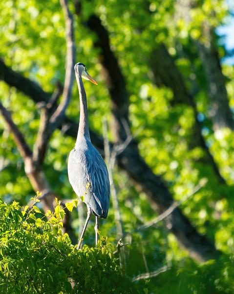 Great Blue Heron in Raleigh