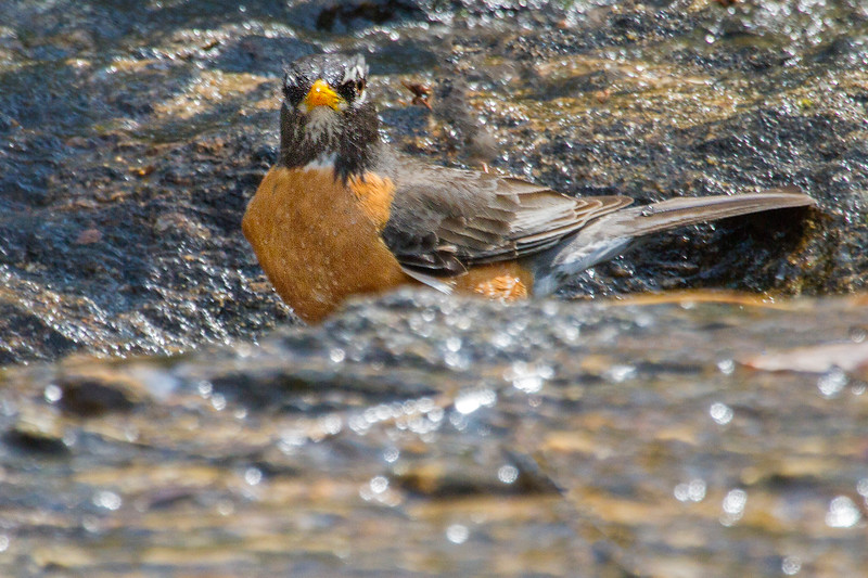 American Robin taking a bath