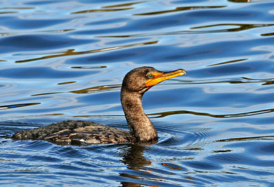 Cormorant - Double-crested