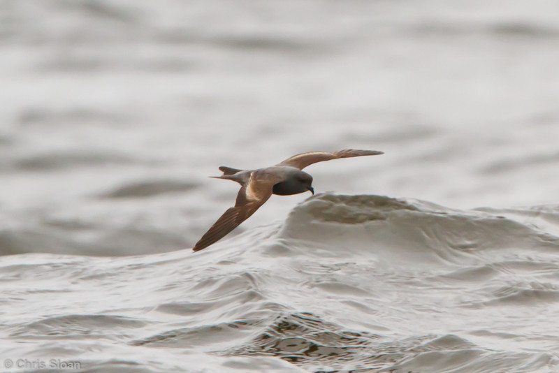 Ashy Storm-Petrel at pelagic out of Bodega Bay, CA (10-15-2011) - 210.jpg