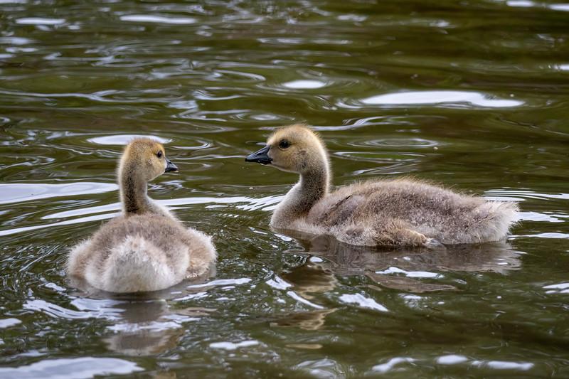 young goslings swimming in a local river