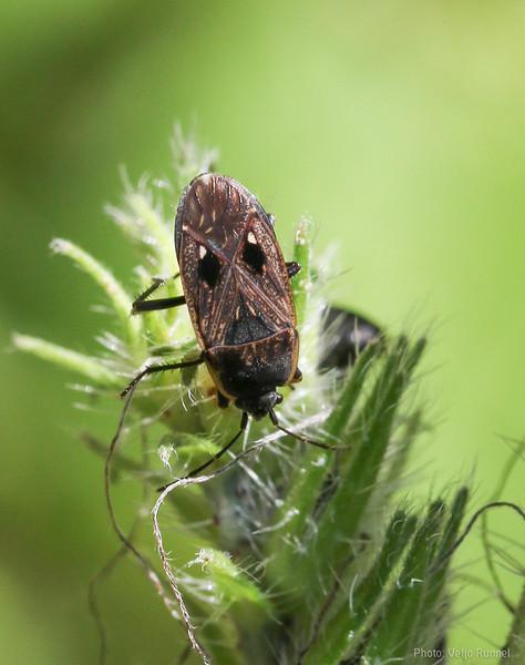 Graptopeltus lynceus