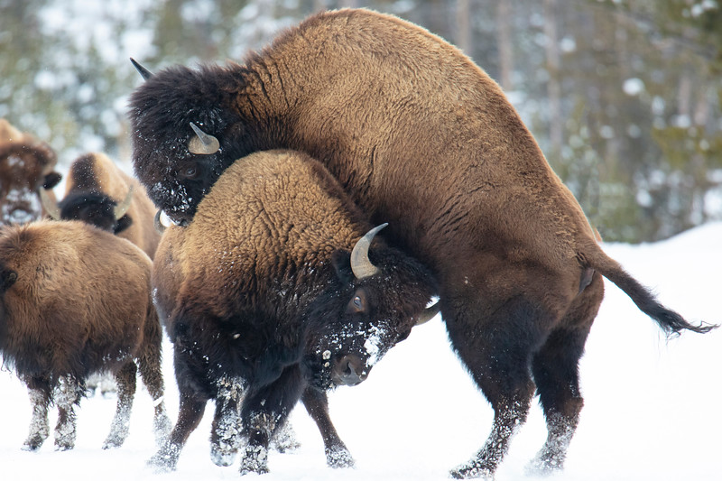 387A9950 Two bison sparring closer.jpg