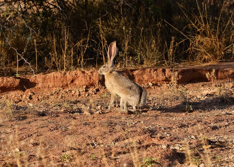 NEA_2374-7x5-Jack Rabbit.jpg