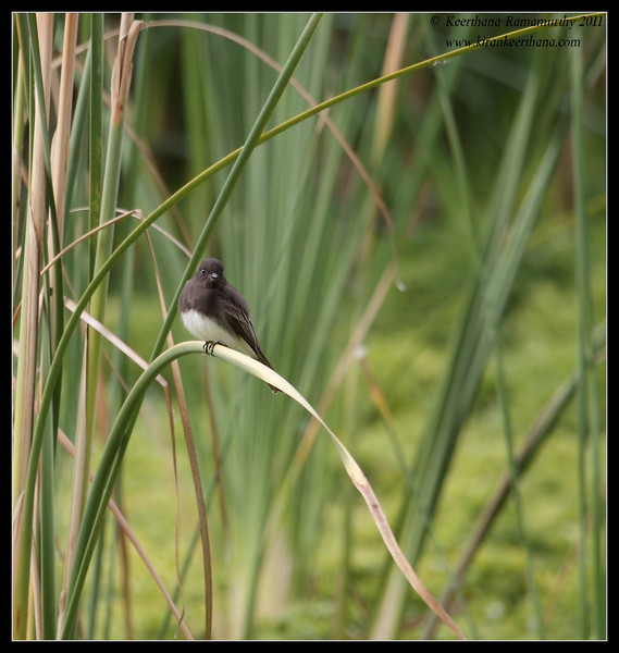 Black Phoebe, Lindo Lake, San Diego County, California, November 2011