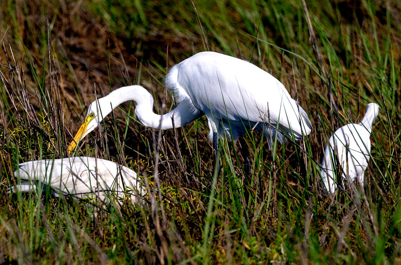 Great Egret looking about the grass