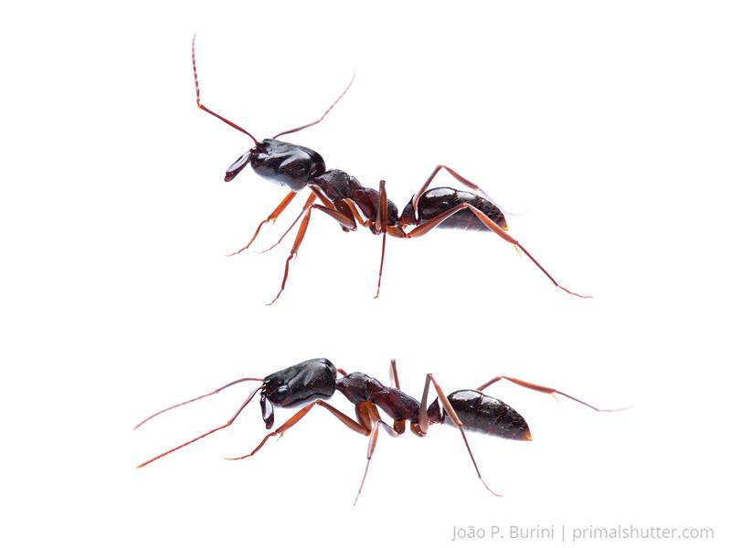 Trap jaw ant (Odontomachus sp.) Sorocaba, SP, Brazil Urban March 2014