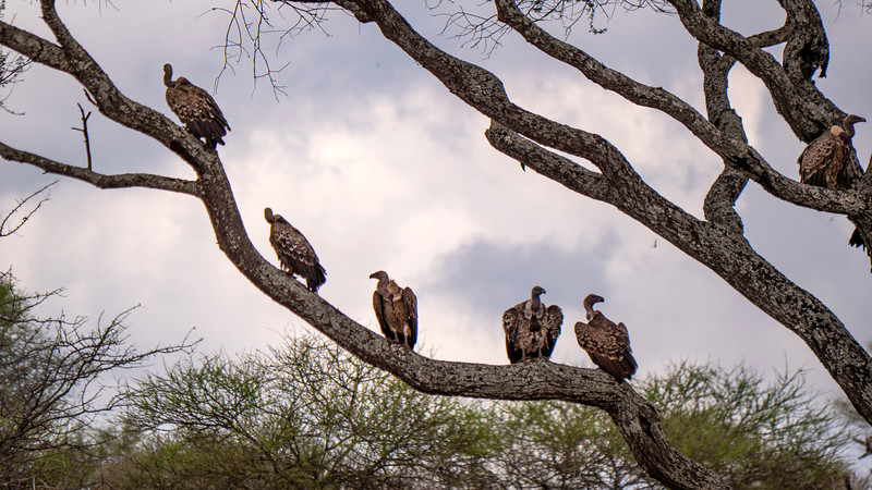 Tanzania-Tarangire-National-Park-Safari-Vulture-02.jpg