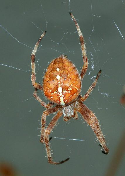 4140 Garden Spider.jpg