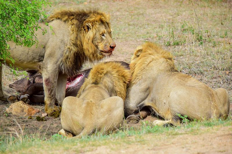 Lion Kill Buffalo_DSC_0802.jpg