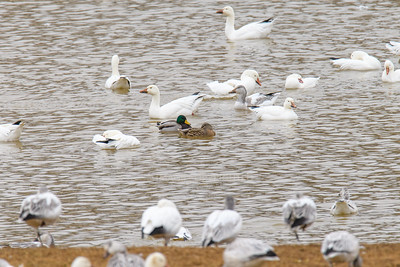 12/29/19 Snow Geese