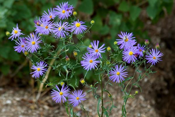 Aster - Purple - Sandia Peak NM