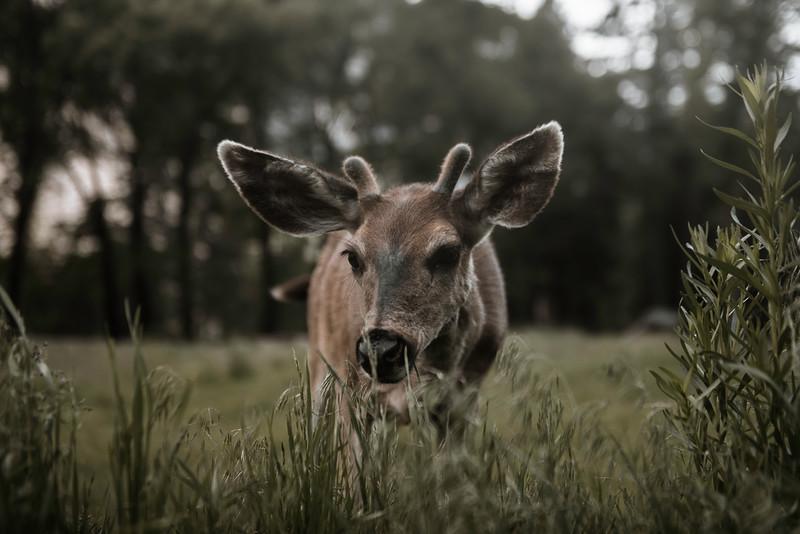 Adolescent Buck