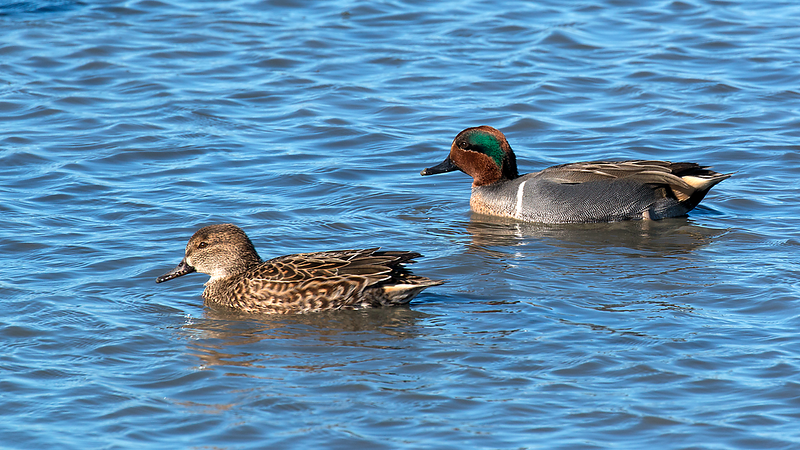 Green-winged Teal pair at Palo Alto Baylands 1