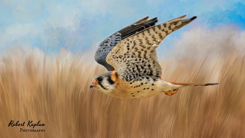 Kestrel-As Shot-inthefield-wallpaper-blue sky-1821.jpg