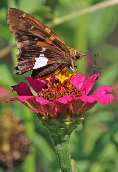 Silver-spotted Skipper 1
