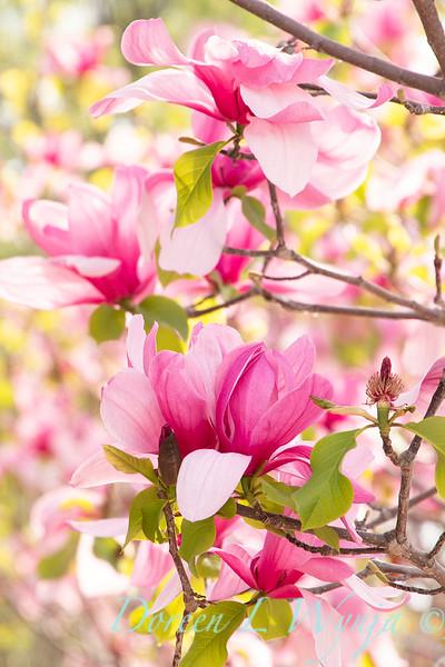 Magnolia x 'Galaxy'_2463.jpg