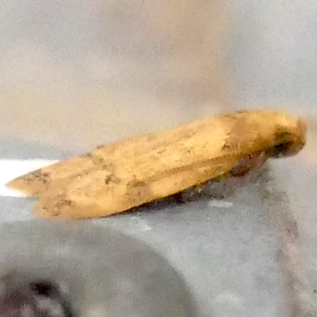 H01144  P175GerdanaCaritella144 July 5, 2018  7:35 a.m.  P1750144 Here is a new species for me, Gerdana caritella, at the catwalk at LBJ WC.  This is a fungus feeder; and the catwalk has some.  Flies July-Aug.  Autostichid.