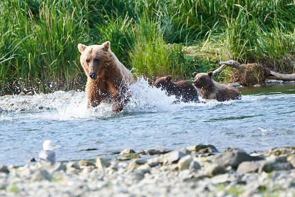 Mother Brown Bear Spring Twins Fishing Katmai
