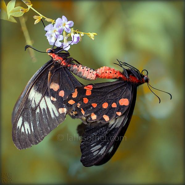 Crimson Rose - Atrophaneura hector.jpg
