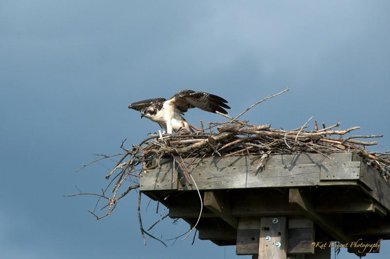 Osprey First Flight 2013