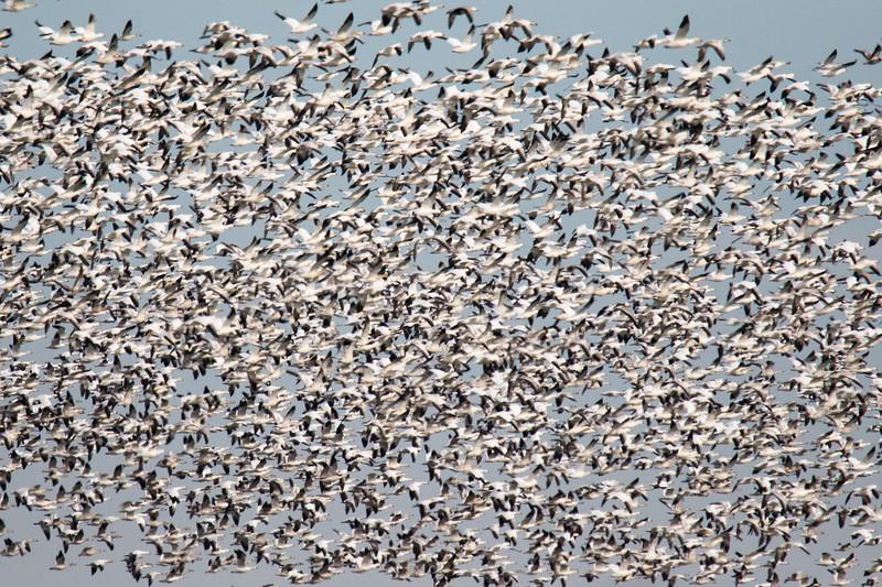 Snow Geese Bombay Hook Fall 2019-2.jpg