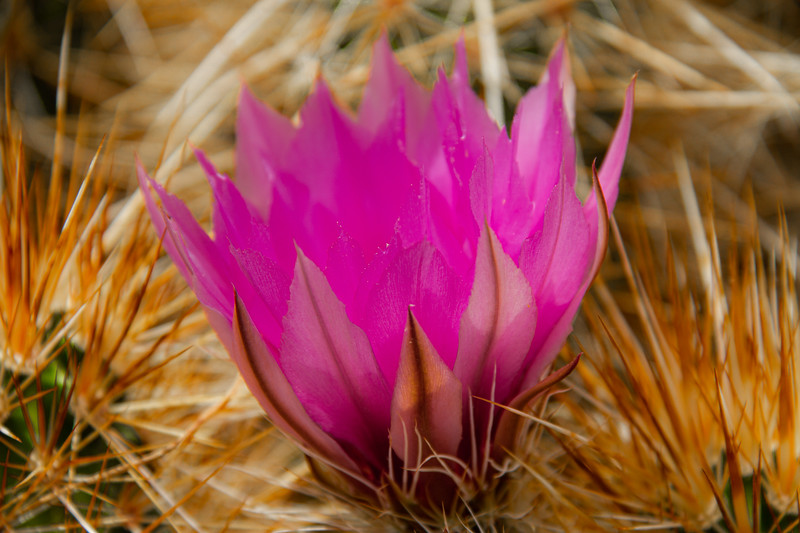 The brilliant purple bloom of the Hedgehog cactus with its petals backlit by the sun
