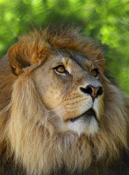 Lion-N17,01.jpg