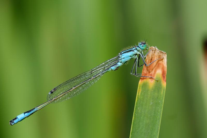 tężnica wytworna | blue-tailed damselfly | ischnura elegans