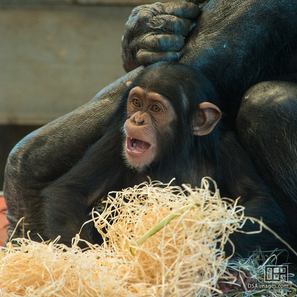 Young Common Chimpanzee (Pan troglodytes)