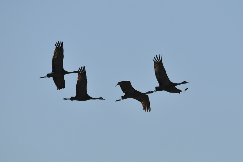 Sandhill Crane Flock 2.JPG