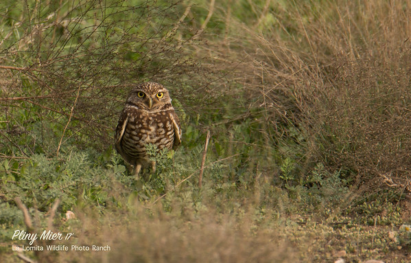 Burrowing Owl LL.jpg