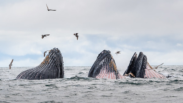 Photographing Humpback Whales Lunge feeding - Monterey Bay, California