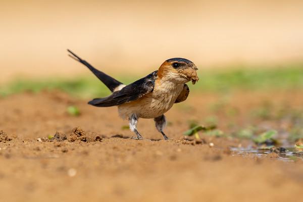 סנוניות - swallows and martins