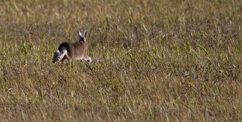 Snowshoe Hare CR29 Sax-Zim Bog MN  IMGC0355-2.jpg