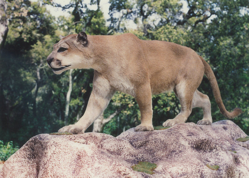 Life-size Mountain Lion Mount